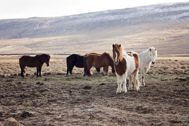 An unexpected date with the Icelandic horse: A rúntur around Borgarfjörður