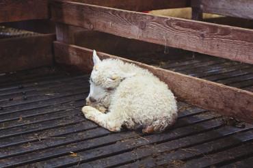 Hvalfjörður: Hug a lamb in Bjarteyjarsandur