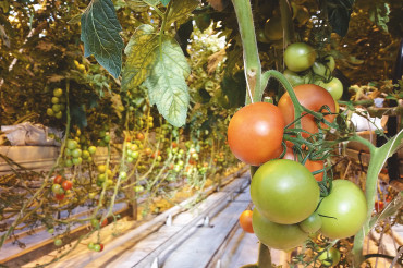 A visit to the greenhouses of Friðheimar and a very yummy tomato soup